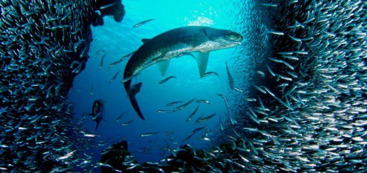 Didelės ir mažos žuvys (Mike Sutton Brown / National Geographic).